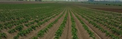 Как да подготвим почвата за засаждане на картофи