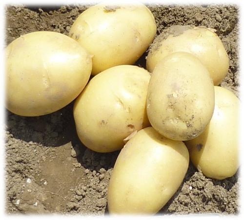 картофи солис